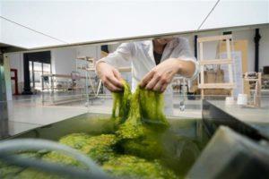stampa 3d: filamento a base di alghe, fase di essiccazione delle alghe